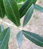 La pianta di olivo
