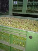 La produzione dell'olio extravergine: al frantoio