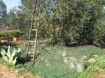 La produzione dell'olio extravergine: la raccolta