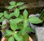 Erbe aromatiche. BASILICO – aspetti botanici