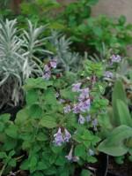 Erbe aromatiche: le piante compagne