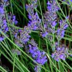 Erbe aromatiche. LAVANDA – aspetti botanici