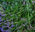 Erbe aromatiche. LAVANDA – Storia e curiosità