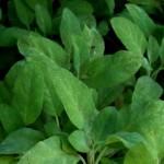 Erbe aromatiche. SALVIA – come utilizzarla