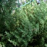 Erbe aromatiche. TIMO – aspetti botanici