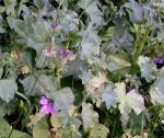 DAL BOSCO. MALVA – aspetti botanici