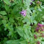 Erbe aromatiche. ORIGANO – aspetti botanici
